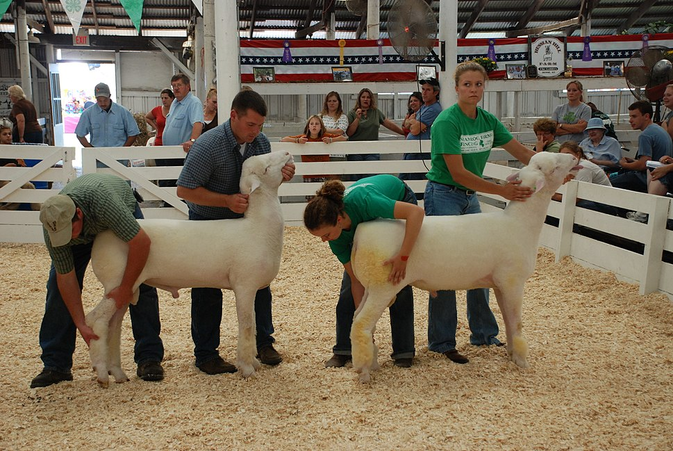 Synchronized Sheep Judging