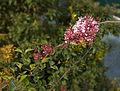 Syringa microphylla B.jpg