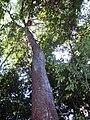 Syzygium paniculatum 88 cm trunk diameter.JPG
