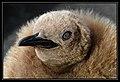 TAAF - Archipel de Crozet - poussin de manchot royal sur l'ile de la possession dans la baie du Marin.jpg