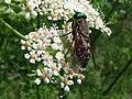 Tabano ♀ Tabanidae (14905992013).jpg