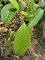 Tabernaemontana alternifolia 04.JPG