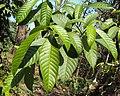 Tabernaemontana alternifolia 09.JPG