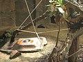 Tamandua tetradactyla in Zoo Krefeld.JPG