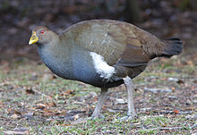Tasmanian Nativehen (Gallinula mortierii) - Mt Field National Park.jpg