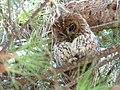 Tawny Owl (4747324404).jpg
