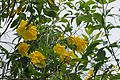 Tecoma Stans (Yellow Elder) (28609671910).jpg