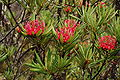 Telopea Truncata - cradle mountain - tasmania.JPG