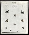 Ten flies (Pullata species). Coloured etching by M. Harris, Wellcome V0022483EL.jpg