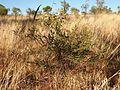 Tephrosia brachyodon plant.jpg
