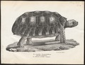 Testudo tabulata - 1700-1880 - Print - Iconographia Zoologica - Special Collections University of Amsterdam - UBA01 IZ11600061.tif