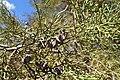 Tetraclinis articulata kz50 Morocco.jpg