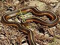 Thamnophis elegans terrestris 002.jpg