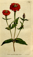 The Botanical Magazine, Plate 149 (Volume 5, 1792).png
