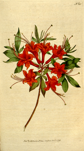 The Botanical Magazine, Plate 180 (Volume 5, 1792).png