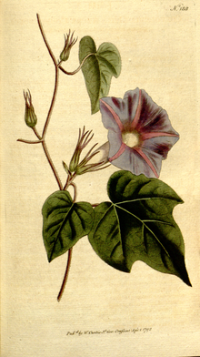 The Botanical Magazine, Plate 188 (Volume 6, 1793).png