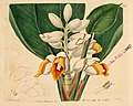 The Botanical register consisting of coloured figures of (1815) (14586496020).jpg