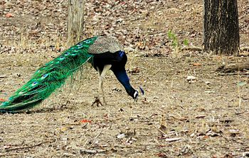 The Magnificent Peacock.jpg