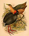 The birds of Celebes and the neighbouring islands - XLIII.jpg