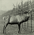 The deer of all lands (1898) Altai wapiti in Woburn Abbey.png