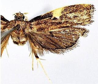 <i>Thubana felinaurita</i> species of insect