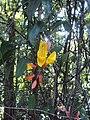 Thunbergia mysorensis 02.JPG