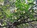 Thunbergia mysorensis var. aurea-1-chemunji-kerala-India.jpg