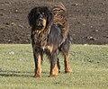 Tibetan Mastiff Тибетский Мастиф 01.jpg