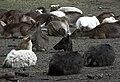 Tierpark Bretten liegende Damhirsche.JPG