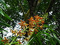 Tiger Orchid Blooming at Singapore Botanic Gardens 20130210a.jpg