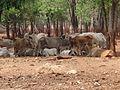 Tiger Temple - panoramio (1).jpg