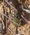 Tiger beetle. Cicindela maroccana - Flickr - gailhampshire.jpg