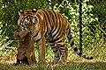 Tiger in Safari Park Beekse Bergen, Netherlands.jpg