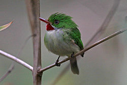 Todus todus -near Marshall's Pen Great House, Manchester Parish, Middlesex, Jamaica-8.jpg