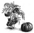 Tomate rouge grosse hâtive Vilmorin-Andrieux 1883.png
