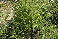 Tomato Plant 3 2013-07-01.jpg