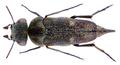 Tomoxia bucephala (Costa, 1854) Syn.- Tomoxia biguttata (Gyllenhal, 1827) (31552651533).png