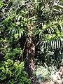 Trachycarpus fortunei 'Norfolk' - J. C. Raulston Arboretum - DSC06246.JPG