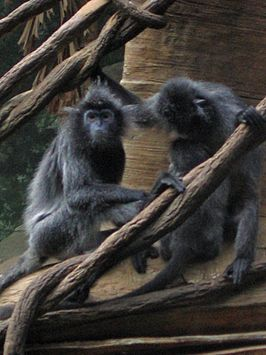 Trachypithecus cristatus at the Bronx Zoo 006.jpg