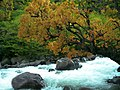 Tree at the river in Kalam.jpg
