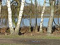 Trees by the west lake in Colwick Country Park - geograph.org.uk - 651547.jpg