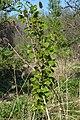 Trembling Aspen (Populus tremuloides) - Guelph, Ontario 2020-05-20.jpg