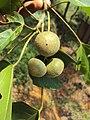 Trewia nudiflora 06.JPG