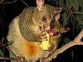 Trichosurus vulpecula (brushtail possum) 2.jpg