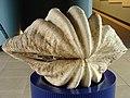 Tridacna gigas.003 - Aquarium Finisterrae.JPG