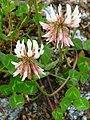 Trifolium weiß.JPG