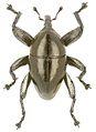 Trigonopterus ovatus holotype - ZooKeys-280-001-g057.jpg