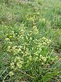 Trinia glauca sl4.jpg