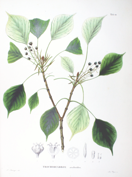 Datoteka:Trochodendron aralioides SZ40.png