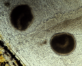 Trophonts of Ichthyophthirius multifiliis.png
